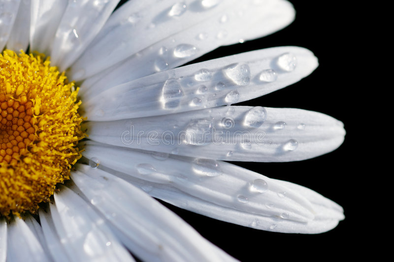 Close-up of a daisy flower stock photography
