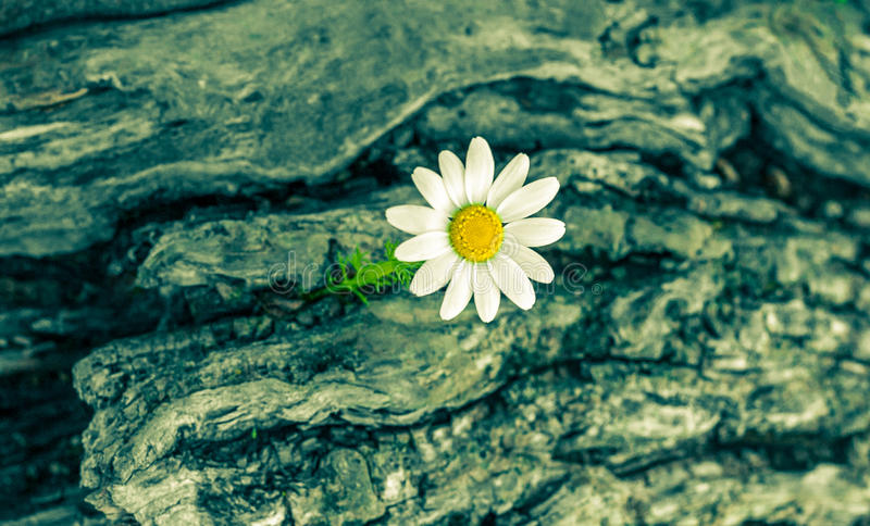 Close up of daisy flower. royalty free stock photo