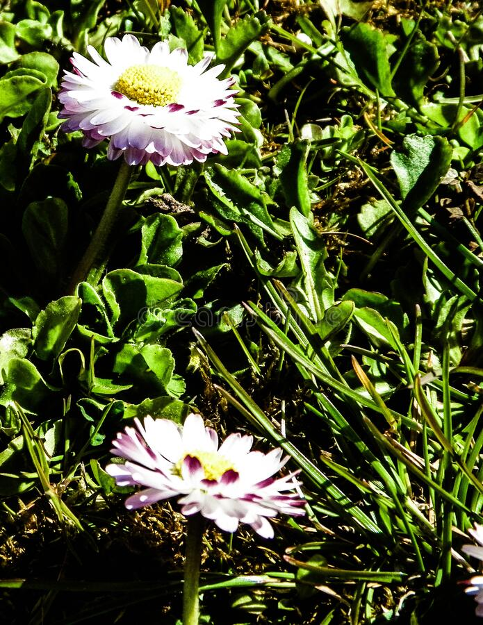 Close up of daisy flowers. Nature background, spring season nature stock photography