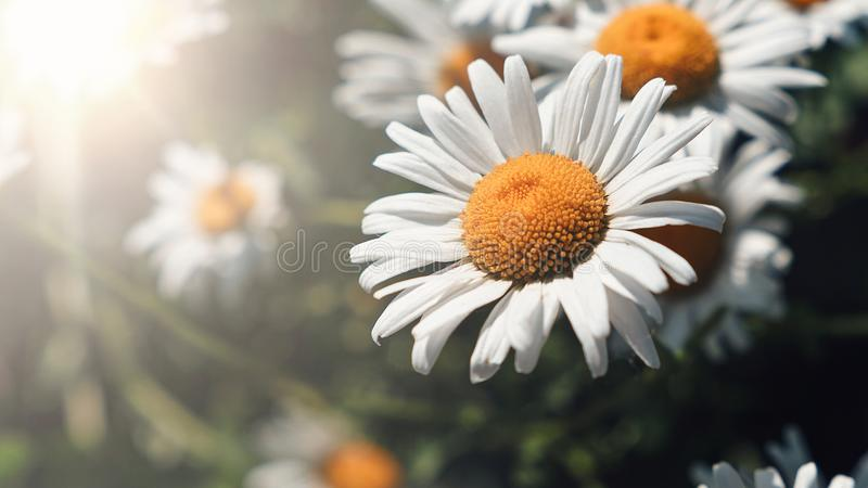 Close-up of daisy flowers in the gentle rays of the warm sun in the garden. Summer, spring concepts. Beautiful nature background royalty free stock images