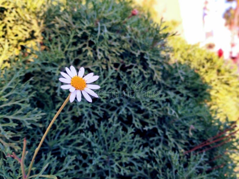 Close Up of daisy stock image