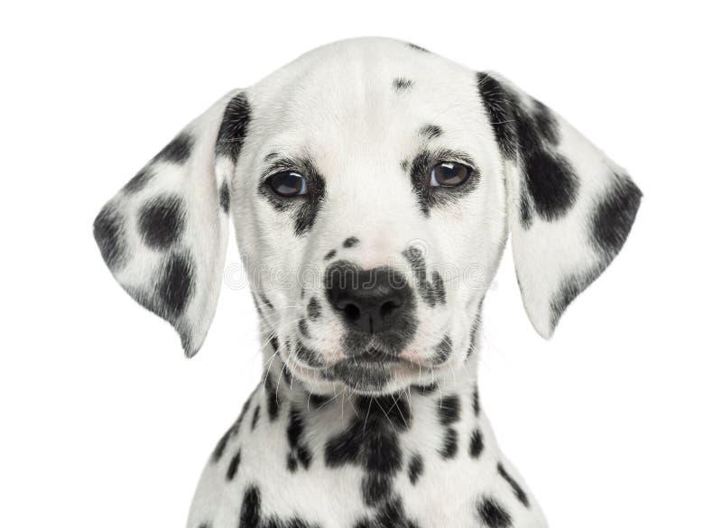 Close-up of a Dalmatian puppy facing, looking at the camera stock image