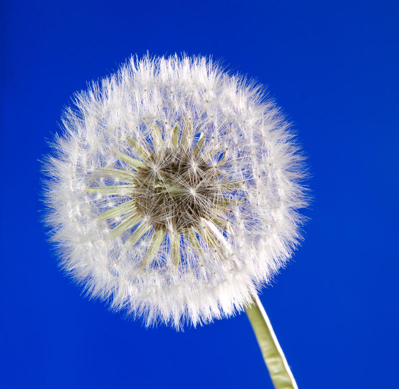 Close Up Of Dandelion On Blue Sky Background Stock Photo