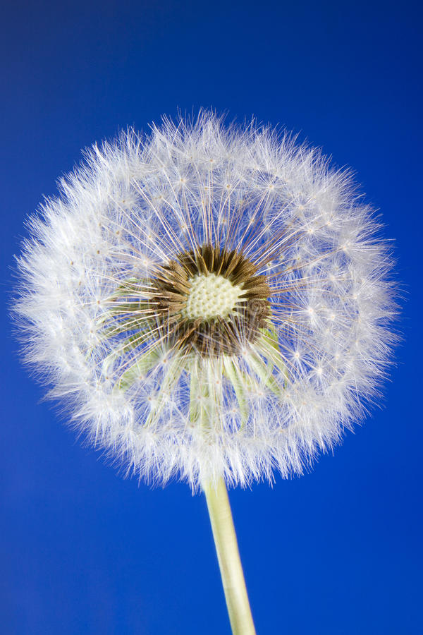 Download Close Up Of Dandelion Head Loosing Seeds On Blue Stock Photo - Image: 19218020