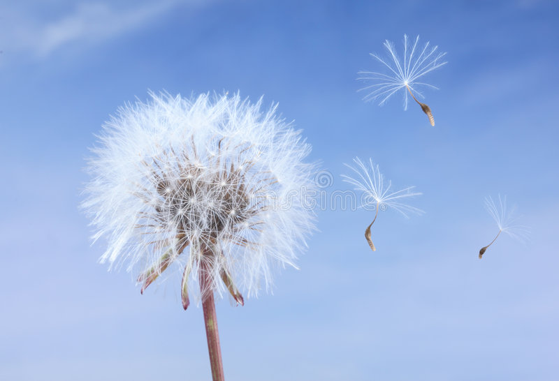 Download Close-up Of A Dandelion Isolated Stock Image - Image: 5455683