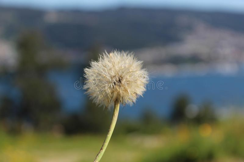 Close-up of a dandelion with landscape in the background & x28;bokeh& x29; stock photography