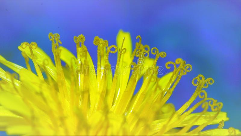 Close-up of a Dandelion stock photography