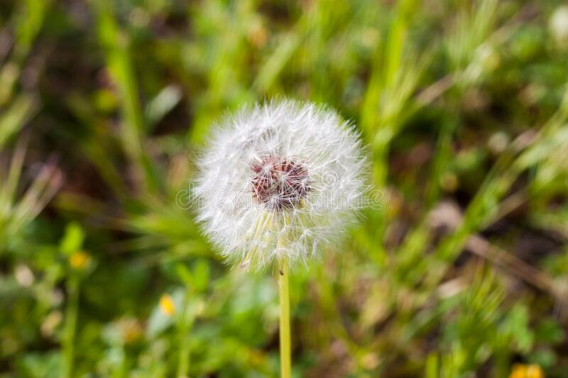 Close-up of dandelion medicinal plant with gradient background royalty free stock photos