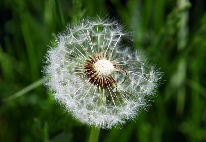 Download Close-up of dandelion seed stock image. Image of blowball - 19557719