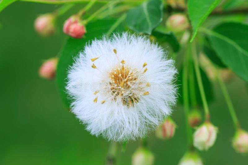 Close up of a dandelion seed head with selective focus and green royalty free stock photo