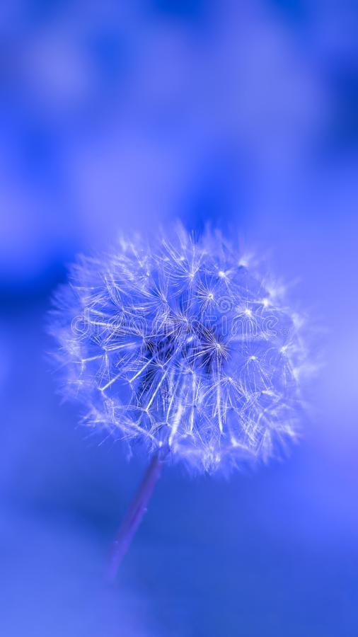 Close up of Dandelion Seed. Macro of Dandelion seed ready to fly on blue bokeh background for phone wallpaper use