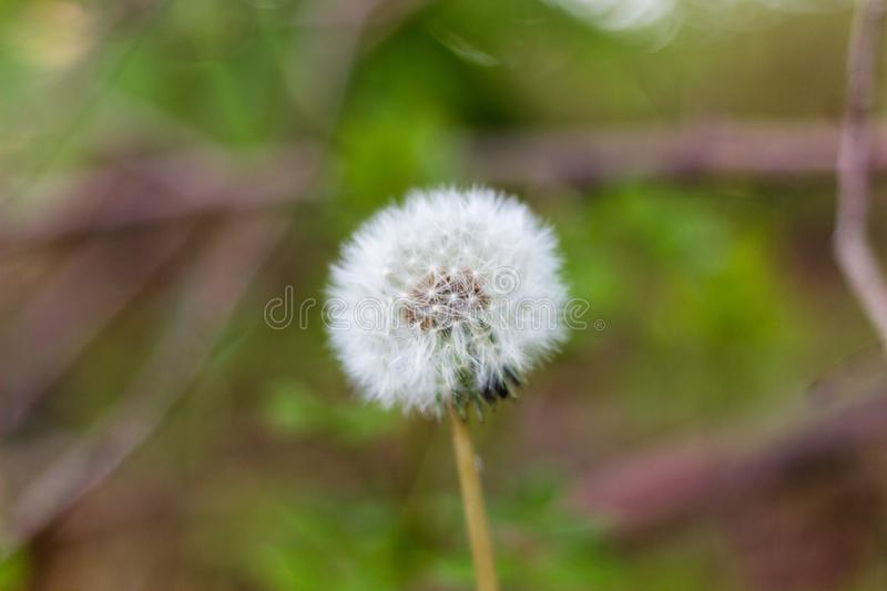 Close up of a dandelion seedhead royalty free stock photos