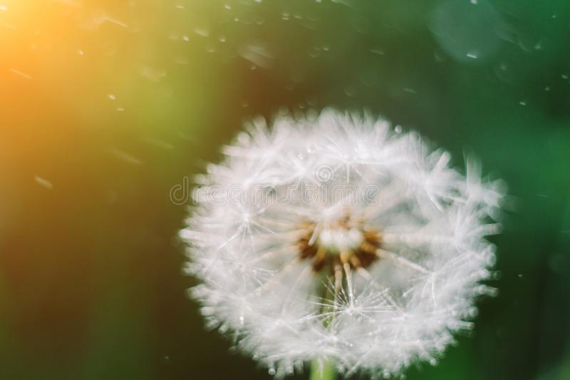 Close up dandelion seeds in the morning sunlight blowing away across a fresh green background stock photography