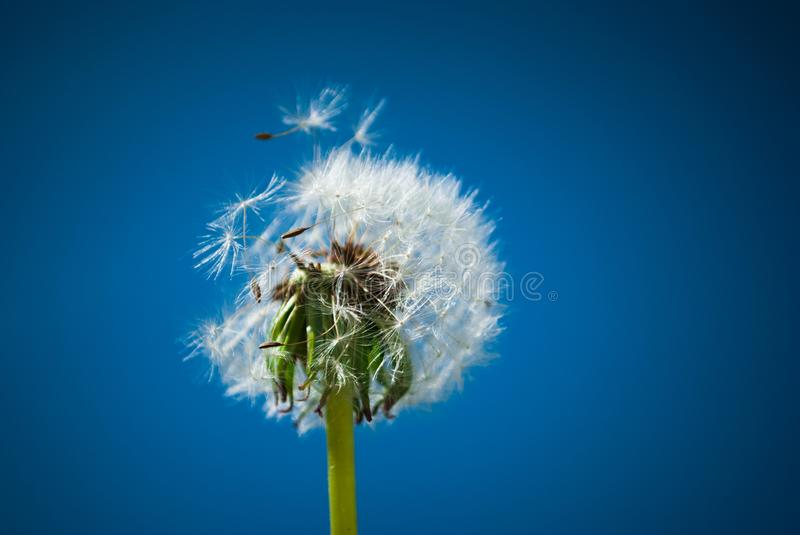 Close up of dandelion spores blowing away stock photos