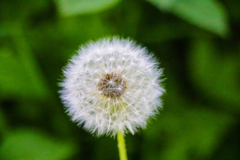 Close-up dandelion tranquil abstract background. Nature, flowers royalty free stock image