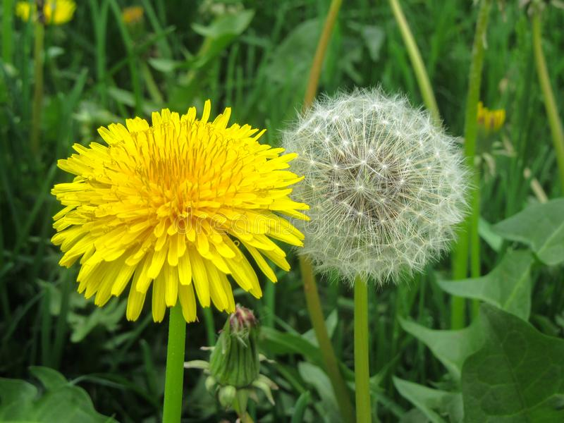 A close-up of dandelions Taraxacum in both its forms - with yellow petals and white fluff. royalty free stock images