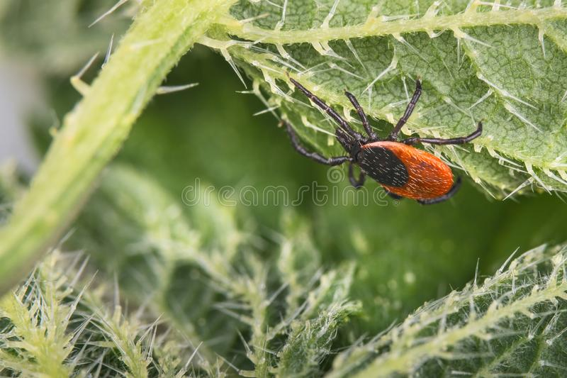Deer tick on nettle leaf. Ixodes ricinus. Urtica dioica royalty free stock image