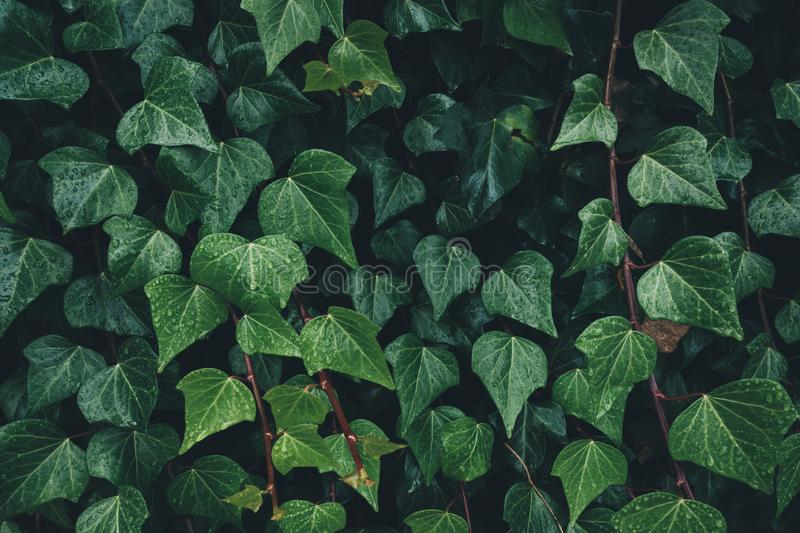 Close-up Of Dark Ivy Leaves. Close-up of wet ivy leaves royalty free stock images