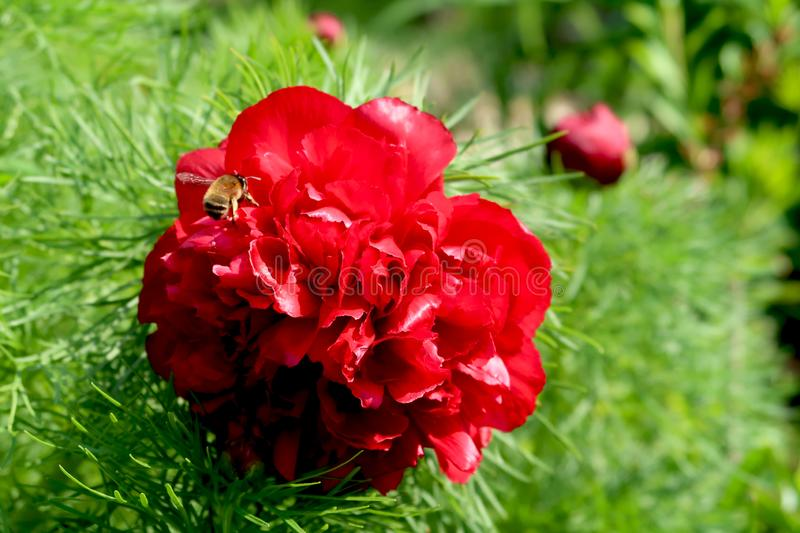 Close-up of dark red blooming peony flower with honeybee apis mellifera flying above. stock photography