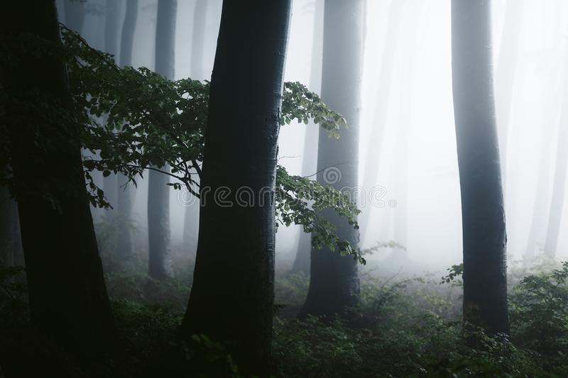 Close up of dark trees in spooky foggy forest. Strange bright light in the distance. Halloween background. Mysterious forest royalty free stock images