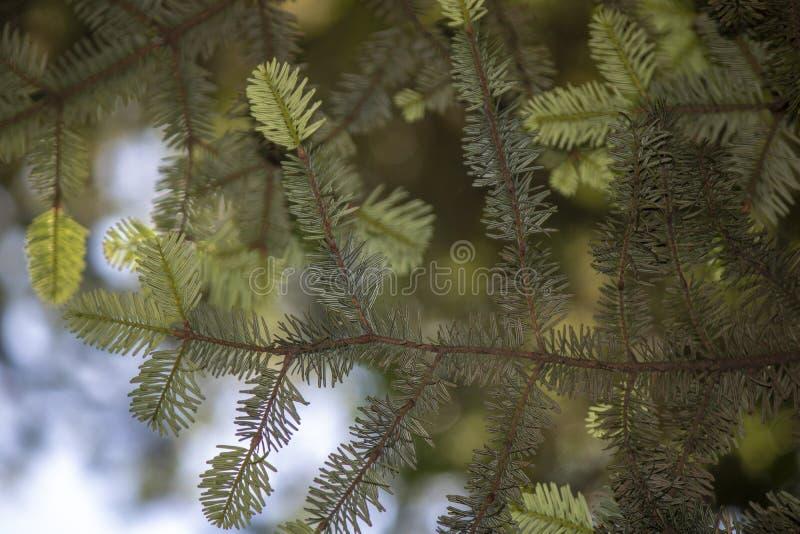 close-up das abies alba (coniferous) árvore Plano de fundo desfocado fotografia de stock