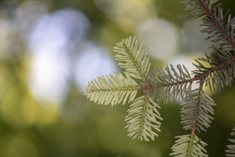 close-up das abies alba (coniferous) árvore Plano de fundo desfocado imagem de stock royalty free