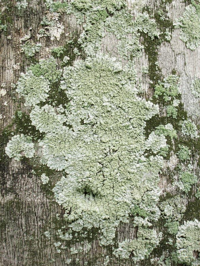 Close-up das algas, do musgo e do líquene crescendo no tronco de árvore fotos de stock