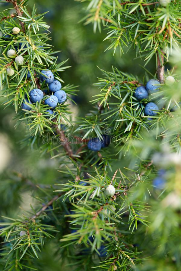 Close-up das bagas de zimbro que crescem na árvore imagens de stock royalty free