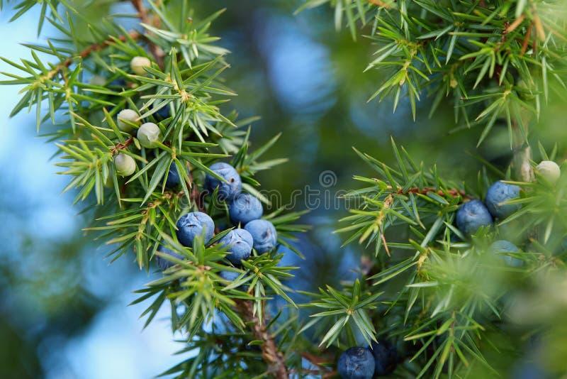 Close-up das bagas de zimbro que crescem na árvore imagem de stock royalty free