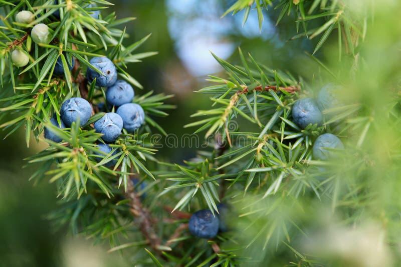 Close-up das bagas de zimbro que crescem na árvore foto de stock royalty free