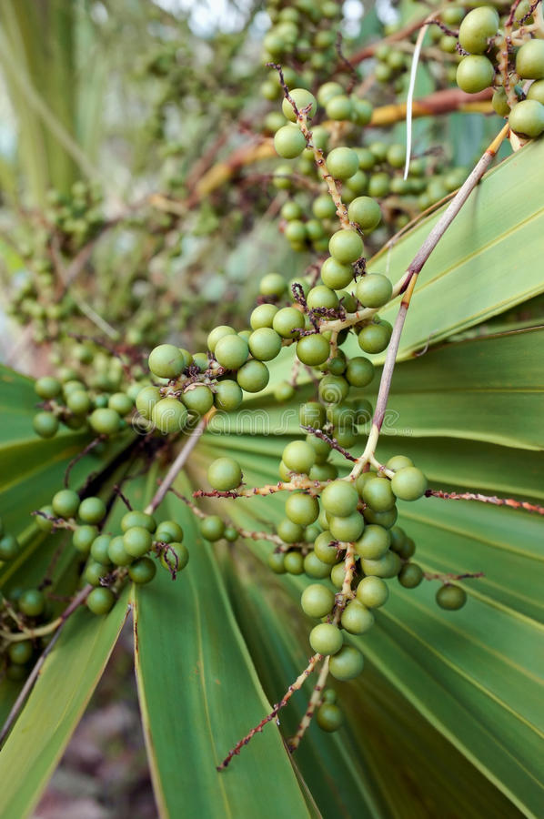Close up das bagas do Palmetto imagem de stock royalty free