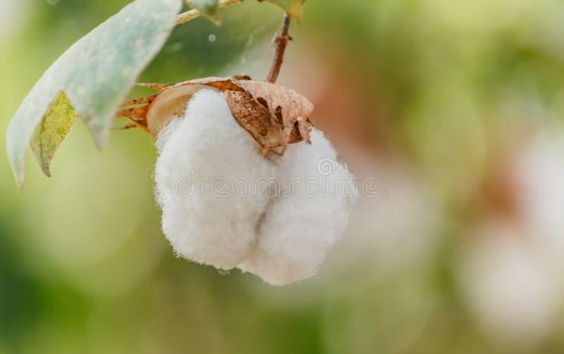 Close-up das cápsulas maduras do algodão imagens de stock