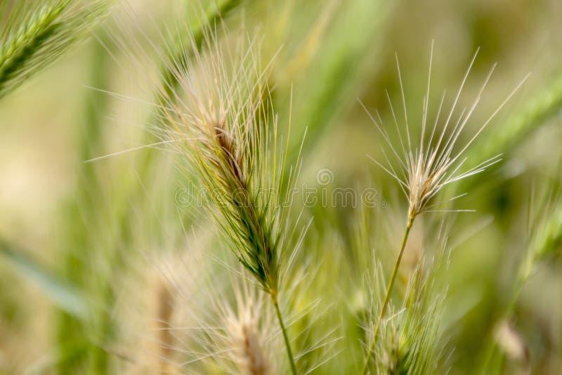 Close-up das colheitas da fibra foto de stock