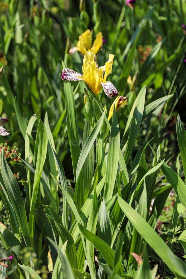 Close up das flores da íris amarela em montanhas Carpathian pequenas do od da natureza selvagem Dia ensolarado Lote das ?ris As f fotos de stock royalty free