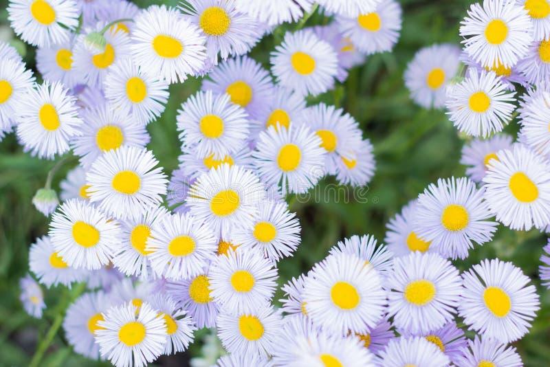 Close up das flores da margarida do campo Cena bonita da natureza com as camomilas m?dicas de floresc?ncia no dia do sol Fundo do fotografia de stock