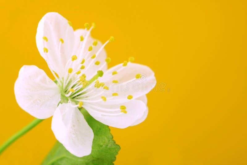 Download Close-up Das Flores De Cereja Imagem de Stock - Imagem de alaranjado, closeup: 12808397