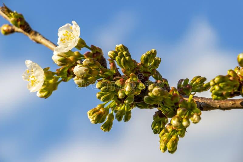 Close-up das flores de cerejeira ensolarados de mar?o foto de stock