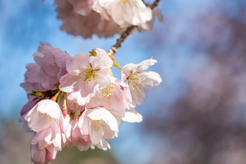 Close-up das flores de cerejeira japonesas na primavera que floresce no ramo no foco seletivo com fundo borrado do céu azul e ma imagens de stock