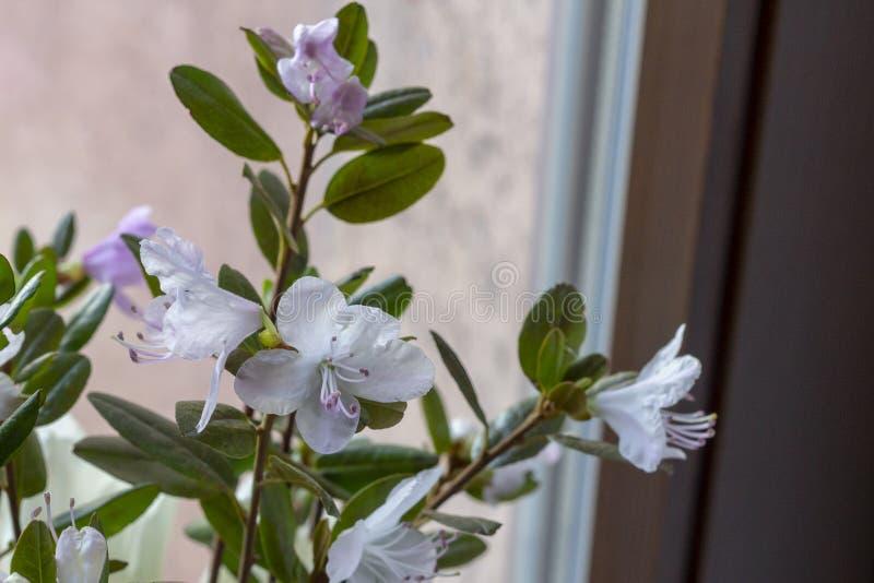 Close-up das flores em um ramalhete do rododendro selvagem foto de stock royalty free