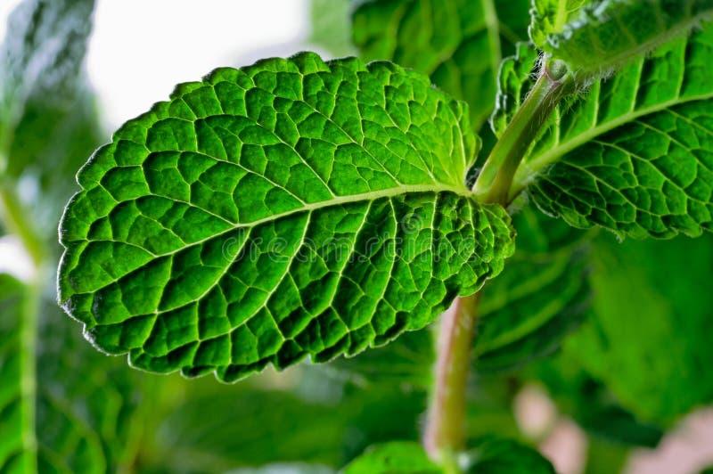 Close up das folhas de hortelã fotografia de stock royalty free