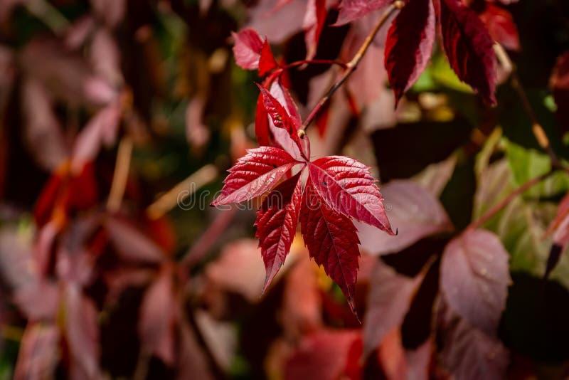 Close-up das folhas de outono vermelhas da videira virgem do quinquefolia do Parthenocissus, trepadeira de Victoria, hera cinco-c imagem de stock