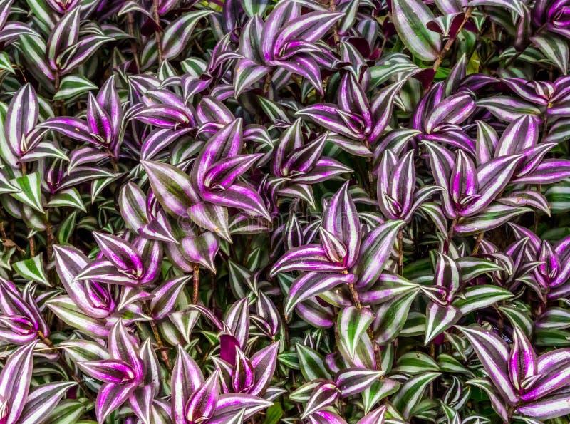 Close up das folhas de uma planta de vagueamento do judeu, da planta tropical de Am?rica e da ?sia, plantas de jardim cultivadas  foto de stock royalty free