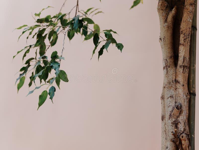 Close-up das folhas, dos ramos, e da casca de uma árvore em um fundo verde da parede foto de stock
