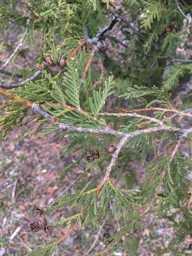 Close up das folhas verdes bonitas e cone de árvores do Thuja Feche acima do ramo do Thuja na mola fotografia de stock