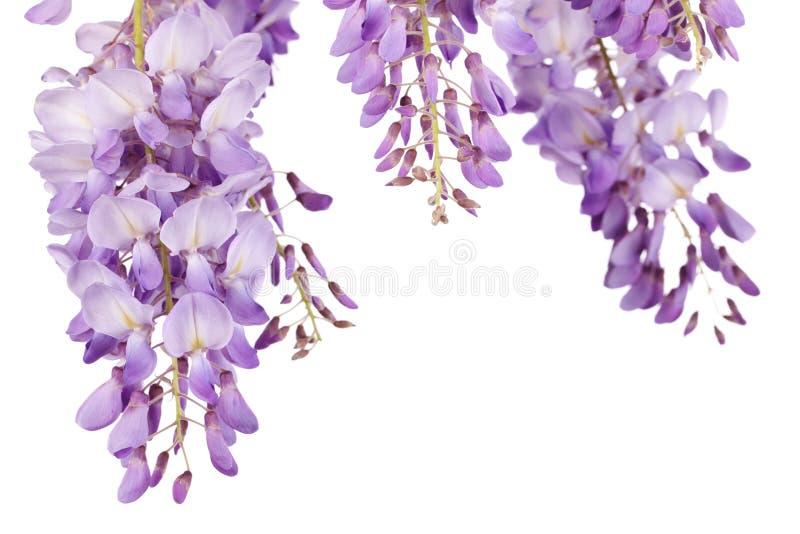 Close up das glicínias fotos de stock