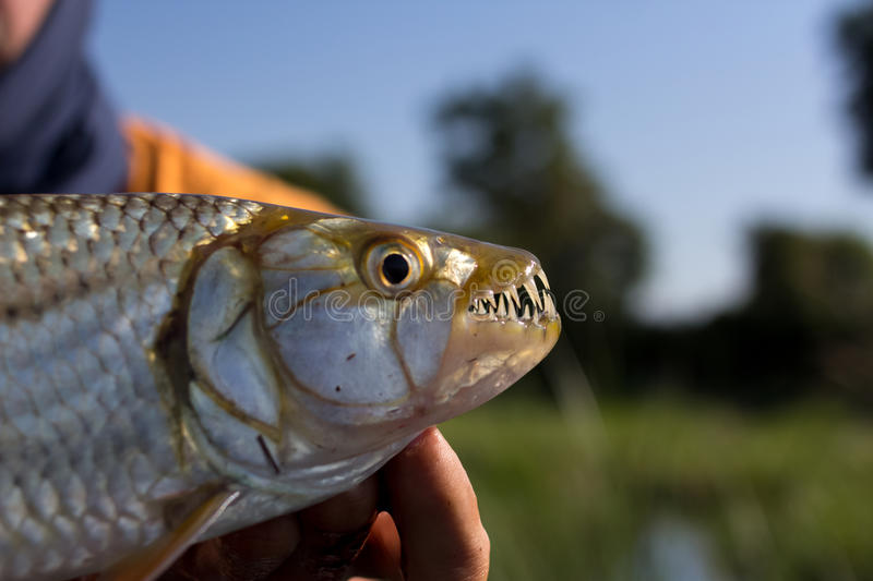 Close-up das maxilas de um tigerfish, delta de Okavango, Botswana fotografia de stock royalty free
