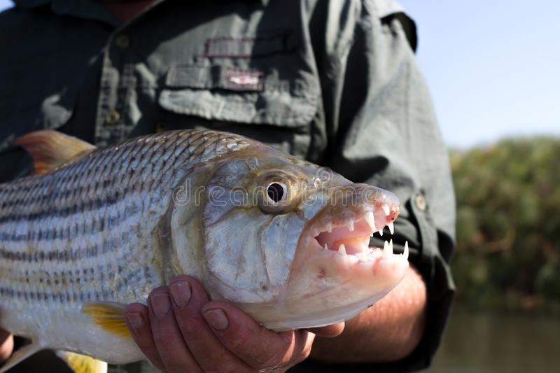 Close-up das maxilas de um tigerfish, delta de Okavango, Botswana fotografia de stock