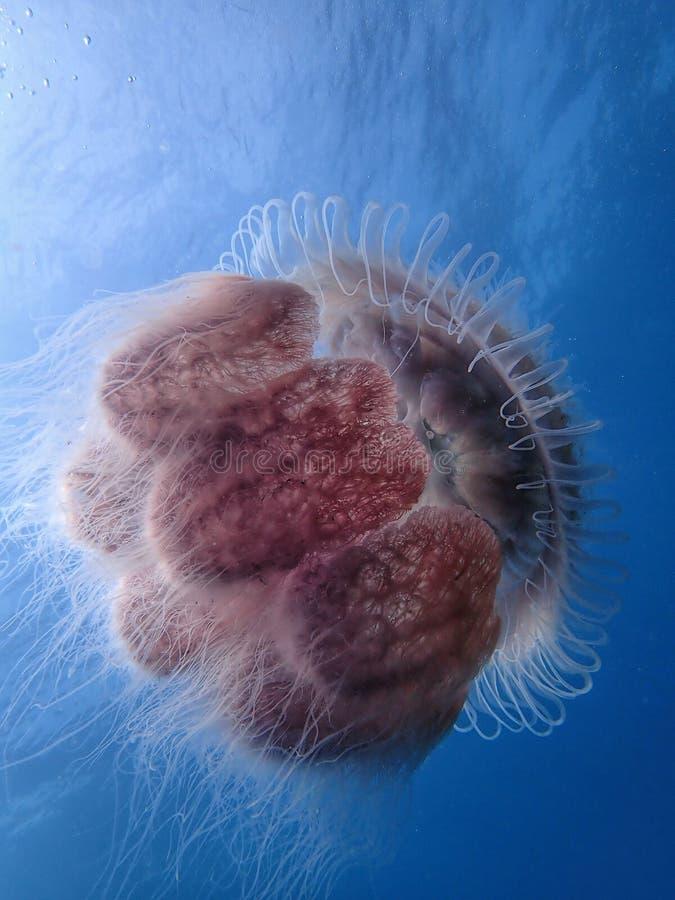 Close-up das medusa, a beleza do mergulho subaquático do mundo em Sabah, Bornéu fotografia de stock royalty free