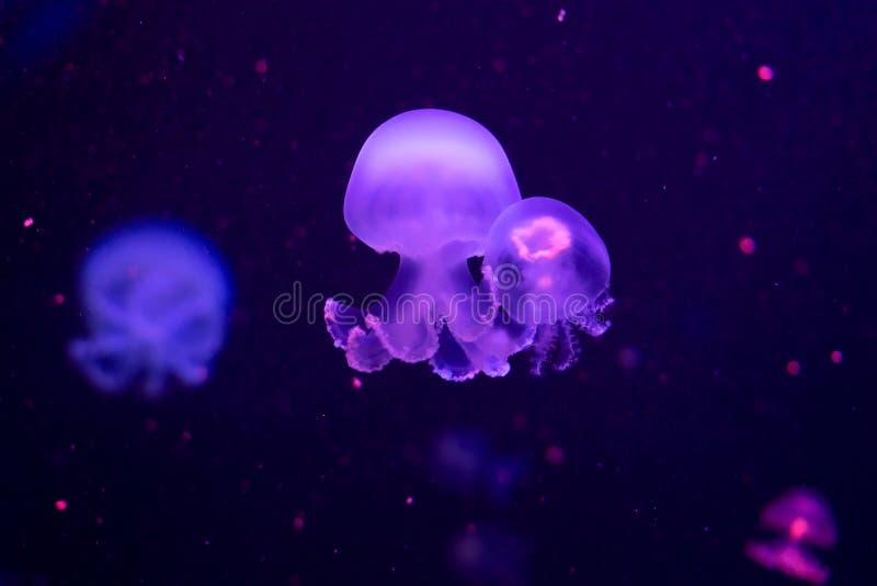 Close up das medusa, na luz de néon cor-de-rosa fotos de stock royalty free