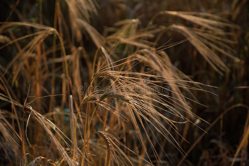 Close up das orelhas maduras do trigo fotos de stock royalty free